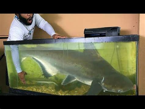 catching  pet fish  aquarium  type  catfish