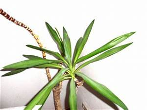 Lavendel Im Topf überwintern : palmen berwintern yucca palme im freien berwintern ~ Frokenaadalensverden.com Haus und Dekorationen