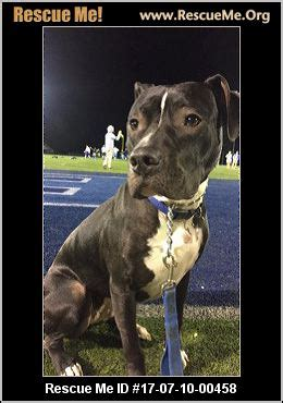 maine pit bull rescue adoptions rescuemeorg