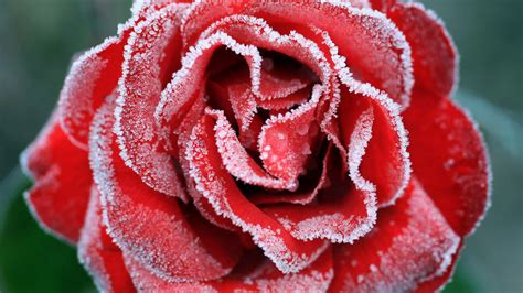 wallpaper frozen rose red rose  flowers