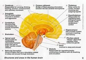Brain   Anatomy  Amygdala  Cerebellum  Brainstem  Medulla