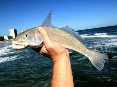 whiting fish report sunglow pier whiting fishing from florida shores