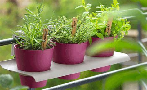 cuisine osso bucco des plantes aromatiques sur mon balcon conseil balcon