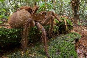 The Biggest And Largest Spiders in the World