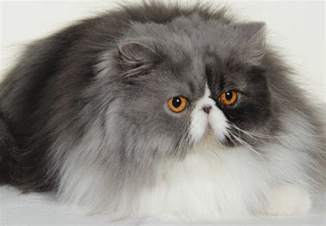 chat persan noir chats persan aveyron