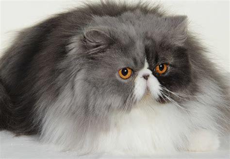 canape m chats persan aveyron