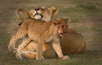 Lioness Lion Lions Telegram вконтакте