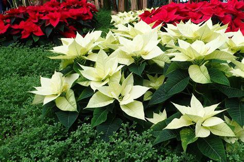 wie pflegt einen weihnachtsstern weihnachtsstern wieder zum bl 252 hen bringen anleitung plantura