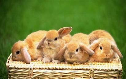 Desktop Rabbit Wallpapers Bunnies Bunny Backgrounds Src