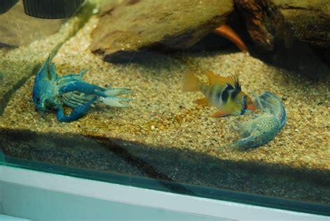 ecrevisse d aquarium 28 images ecrevisse d aquarium ecrevisse d aquarium ecrevisse d