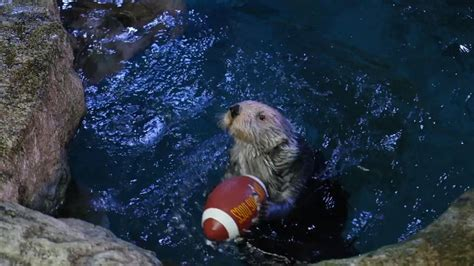 aquarium of the pacific in aquarium of the pacific to hold 2nd otter bowl on bowl sunday abc7chicago