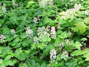 Pflanzen Für Nordseite : suche niedrige bl hende pflanze f r nordseite ~ Frokenaadalensverden.com Haus und Dekorationen