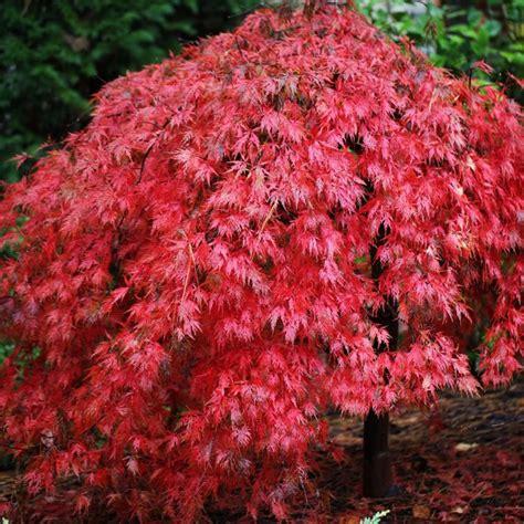 japanese maple species acer palmatum dissectum ever red japanese maple tree weeping maple tree garden pinterest