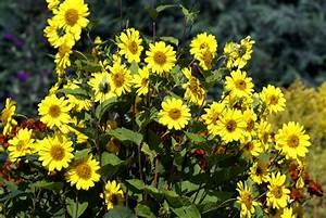 Blumen Winterhart Mehrjährig : sonnenblumen stauden diese sorten sind mehrj hrig ~ Whattoseeinmadrid.com Haus und Dekorationen