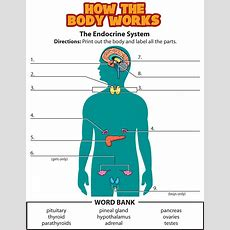 Activity Endocrine System