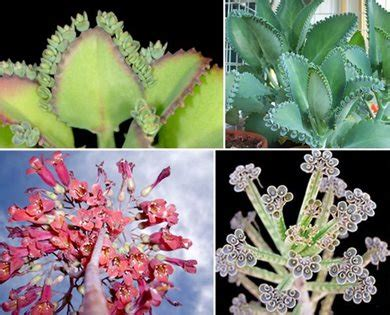 mother  thousands kalanchoe diagremontiana garden design