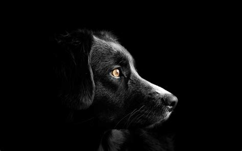 black dog  wallpaper cute puppies black background