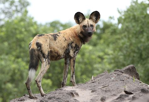 fileafrican painted dog  african wild dog lycaon