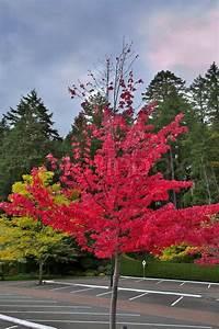 Baum Mit Roten Blättern : ein helles festlichen baum mit roten bl ttern auf parkplatz stockfoto colourbox ~ Eleganceandgraceweddings.com Haus und Dekorationen