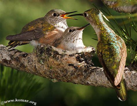 baby hummingbird nest cool