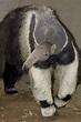 Giant Anteater | San Diego Zoo Animals & Plants