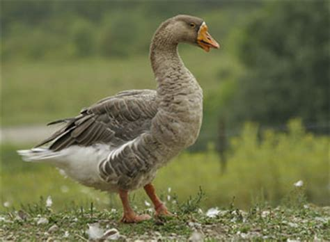 animal facts geese