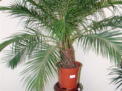 Dateles palmu audzēšana no akmens: stādīšana un kopšana mājās