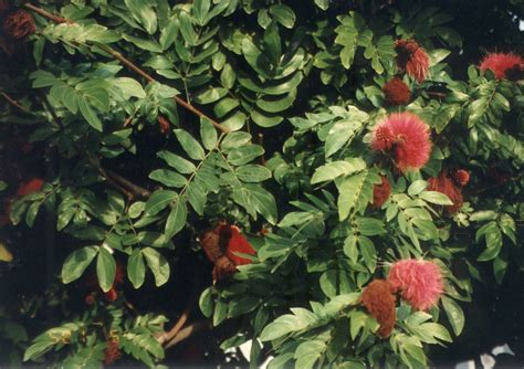 hedge calliandra haematocephala plantmaster hummingbirds shrub