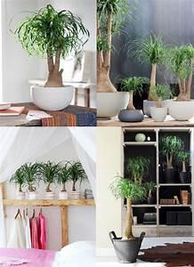 Support Plante Intérieur : le beaucarnea la plante d int rieur du mois de janvier ~ Teatrodelosmanantiales.com Idées de Décoration