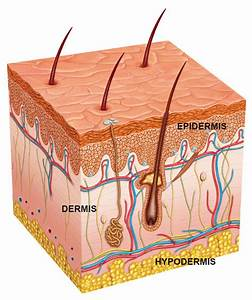 What Type Of Connective Tissue Anchors The Skin To