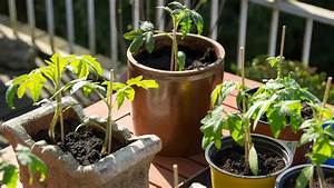 Tomaten Balkon Kübel : tomaten im k bel auf dem balkon anbauen ratgeber garten nutzpflanzen ~ Yasmunasinghe.com Haus und Dekorationen
