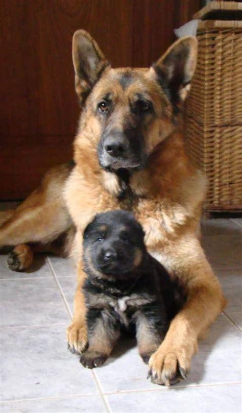 reasons       german shepherd dog