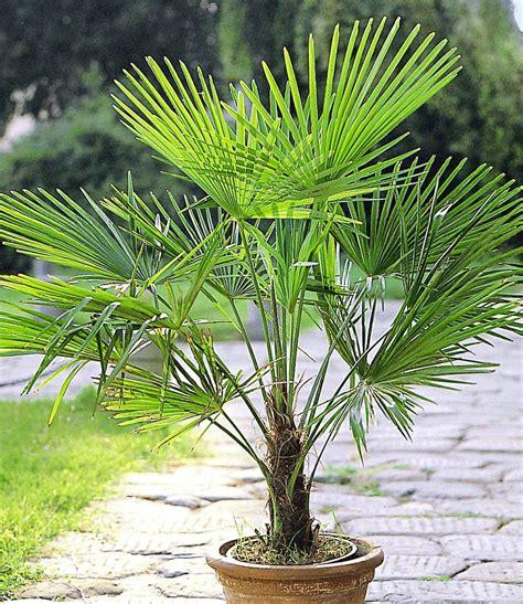 winterharte kuebel palme er set garden ideas palmen