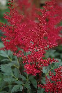 Red Sentinel Astilbe (Astilbe x arendsii 'Red Sentinel ...