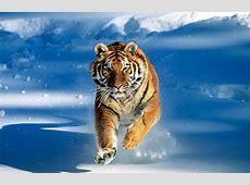 Encyclopedia Tiger Running