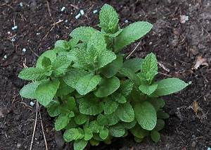 Pflanzen Für Balkon : kr utergarten pflanzen f r den balkon 09 mentha spicata spanish eine minze ~ Sanjose-hotels-ca.com Haus und Dekorationen