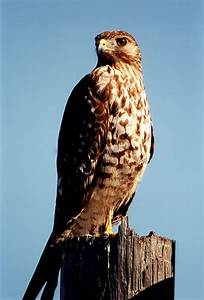 Red-Tailed Hawk | Not Unless I'm Being Chased...
