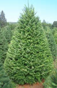 christmas trees oregon agriculture in the classroom