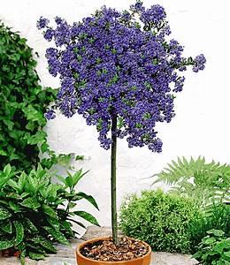 Immer Blühender Garten : ceanothus st mmchen 39 blue mound 39 immergr ne str ucher bei baldur garten ~ Markanthonyermac.com Haus und Dekorationen