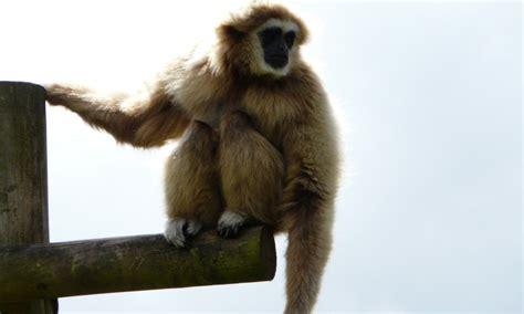 lar gibbon lake district wildlife park