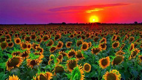 Star Wars Ships Wallpaper Sunflower Field Sunset Wallpaper Hd 8589131 Wallpapers13 Com