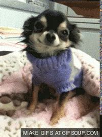 tired chihuahua gif find share  giphy