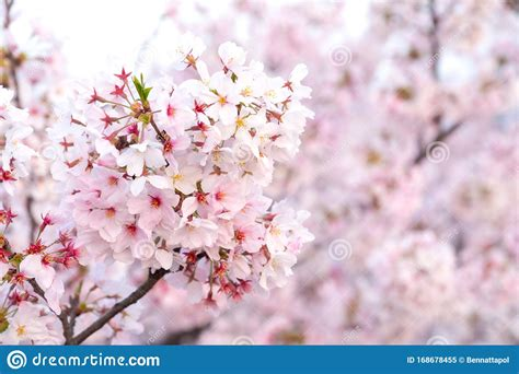 Close Up Sakura Cherry Blossoms Flower Branches In Pink