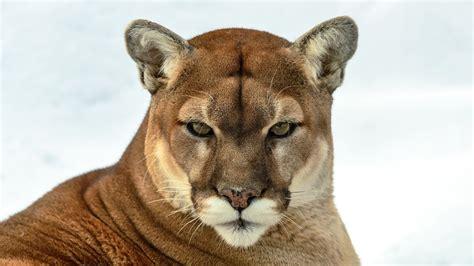 mountain lion attacks   rise