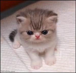 KITTEN GIF • Hyper cute Persian like Kitten crying She ...