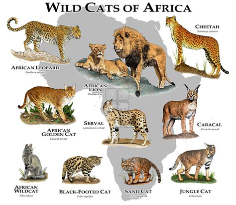 African Cats List ~ List of African Wild Cats ~ Cats For