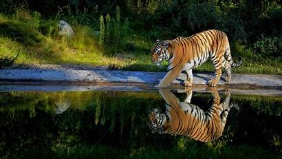Tiger 4k Tigre Agua Water Fondos Walking