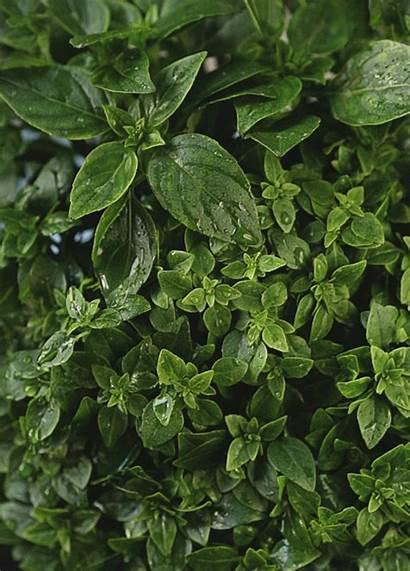 Kitchen Basil Ghosts Nature Herbs