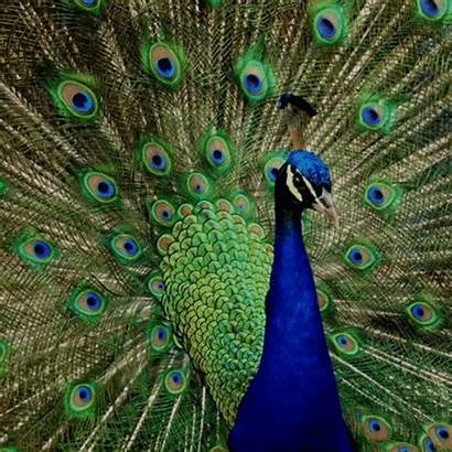 Peacock Animal Mimetismo Animals Bird Animais Wild