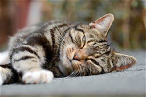 tabby cat shedding tabby cat on shed roof stock photo image 45154048